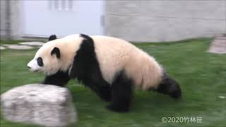 【彩浜ダッシュ!】🌈走る!走る!かたづけるw🌟【子パンダ】Giant Panda -Saihin-☆Run around