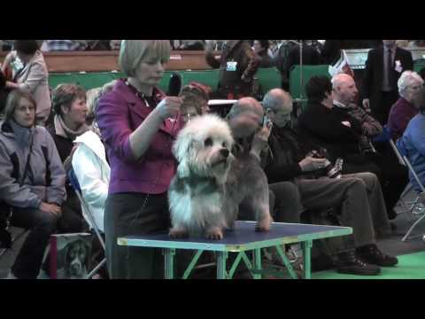 Dandie Dinmont Terriers at Crufts 2010 - Limit Dog