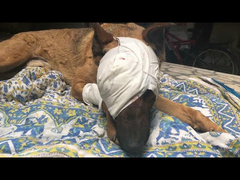 Rescue Poor Dog who had damaged eyeball and need surgery right away