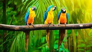 Пение Волнистых Попугаев | 30 минут