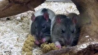 Rats qui mangent comme des affamés