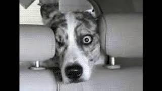 Даже моя собака в шоке, когда жена за рулем...Смешные короткие видео про животных и хозяев
