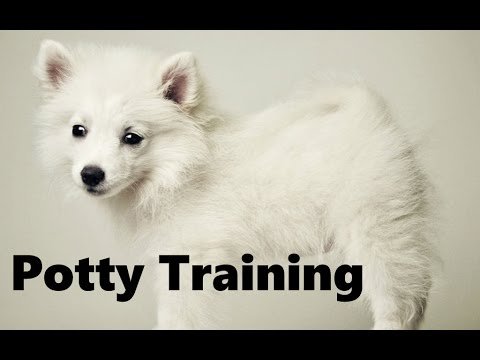 How To Potty Train An American Eskimo Puppy - American Eskimo Dog Training - American Eskimo Puppies