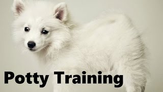 How To Potty Train An American Eskimo Puppy - American Eskimo Dog Training - American Eskimo Puppies