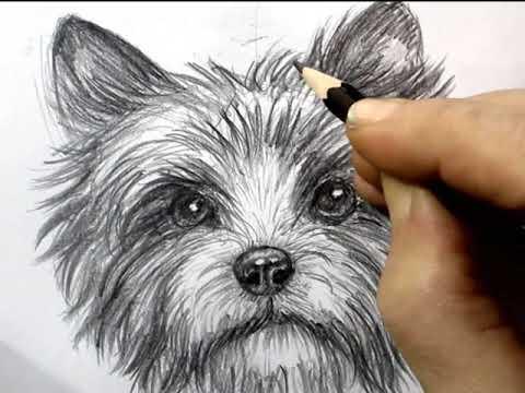 Как нарисовать йорка карандашом поэтапно