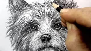 Как нарисовать собаку карандашом. Рисуем голову керн-терьера.