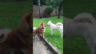 Chow chow and chowski playing