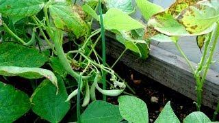 Planting String Beans   NITROGEN restoration   Agrosuede