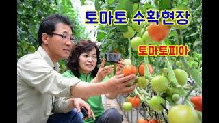 토마토 수확현장_토마토…