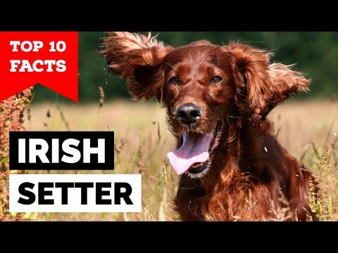 Irish Setter  Top 10 Facts