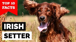 Irish Setter  Top 10 Facts