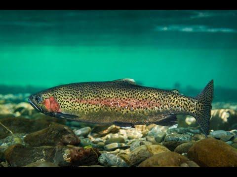 Рыбалка в КОКИНО Охота на форель