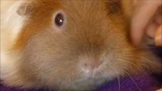 Guinea Pig Eyes:  Conditions and Eyedrop Treatment
