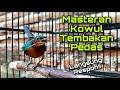Masteran Kolibri Wulung Mbeset Full Isian Tembakan Pedas Untuk Pancingan Kowul Bahan Agar Gacor  Mp3 - Mp4 Download