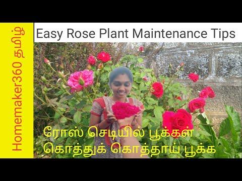 ரோஸ் செடி கொத்து கொத்த பூக்க | Rose Plant Growing Tips in Tamil