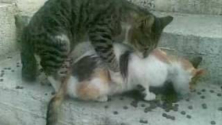 Cat mating fail