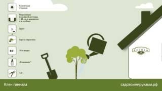 видео Клен гиннала (приречный) для живой изгороди. Условия выращивания и уход. Питомник растений