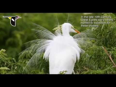 All About Birds Great Egret >> The Great Egret During Nesting Season Youtube