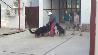 Нападение на хозяина. Мощная атака собак.