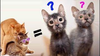 Вязка Состоялась! 😻 Гибриды кошек в результате скрещивания – Смешные кошки МатроскинТВ