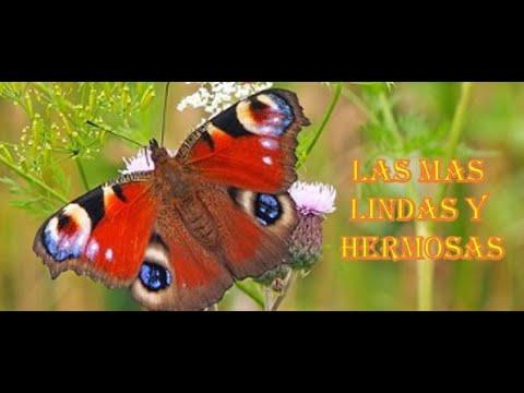 las-mariposas-mas-bellas-del-mundo