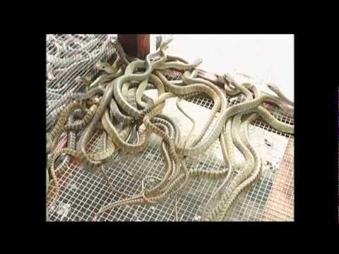 cơ sở bảy đạng chuyên cung cấp rắn hổ hèo giống