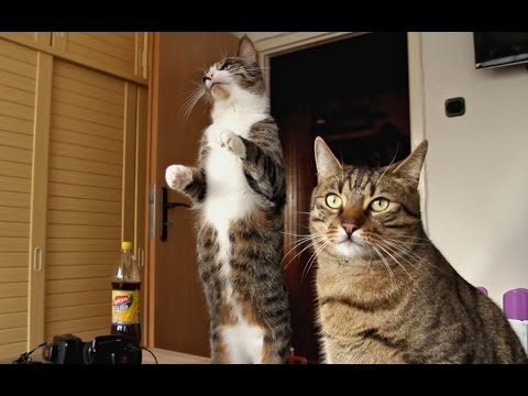 Cat Maintains a Balance On Hind Legs For a Long Time