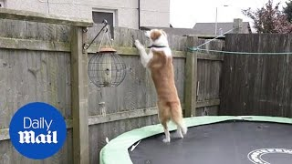 Clever dog escapes from garden by using a TRAMPOLINE and follows owner to work