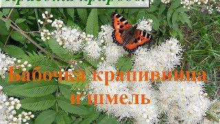 Бабочка крапивница и шмель. Как выглядит бабочка крапивница Июнь 2014