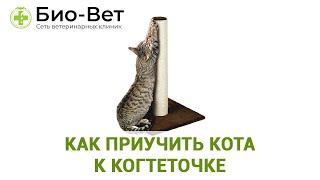 Как приучить кота к когтеточке. Ветеринарная клиника Био-Вет.