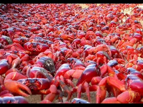 Red Crab Migration across Christmas Island