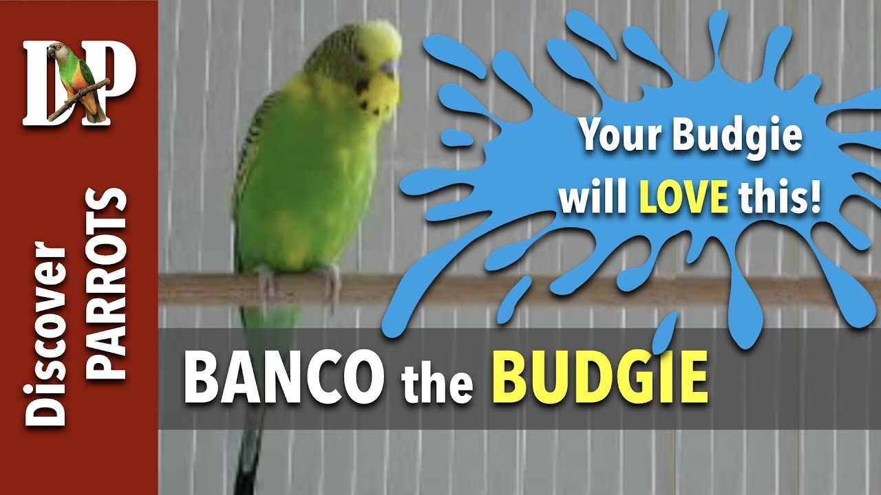 Banco the budgie calling, chirping, screaming - Happy Budgies