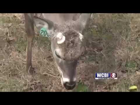 Here's what you need to know about the 'zombie' deer disease now impacting ...