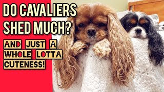 ❓Do Cavalier King Charles Spaniels Shed❓