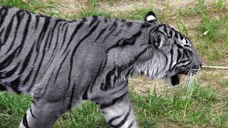 7 Especies De Tigres Que Son Únicas En El Mundo