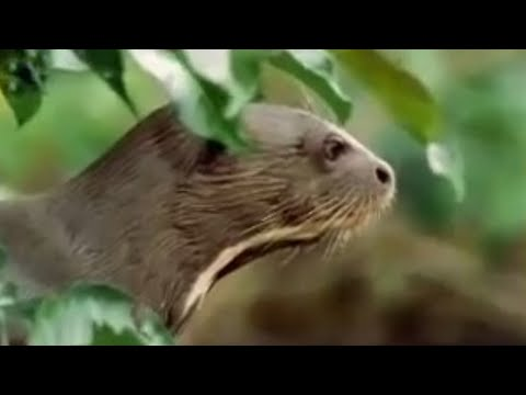 Rainforest animals of the Amazon jungle  - BBC wildlife
