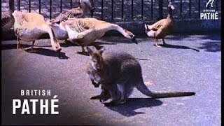 Baby Wallaby (1956)