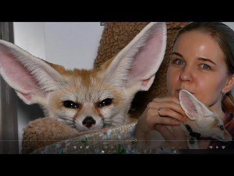 Как жить с самой ушастой лисой? Невозможно?