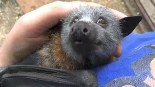 Juvenile Bat Squeaks While Being Petted.