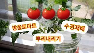 방울토마토/수경재배/뿌리내리기/꽃이폈어요