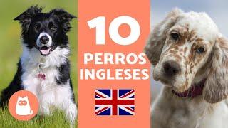 10 RAZAS DE PERROS INGLESES