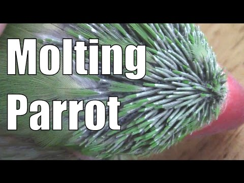 Molting Parrot