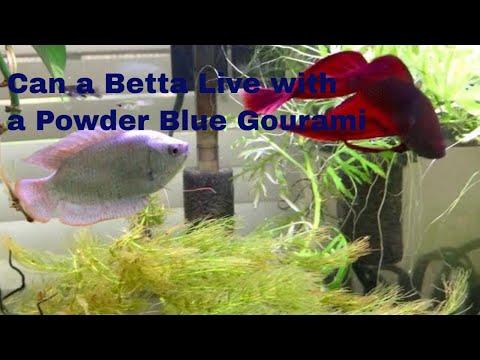 Can A Betta Live With A Powder Blue Gourami