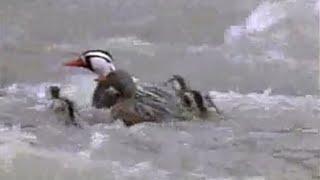 Amazing! How baby ducklings survive the Amazon rapids   - BBC wildlife