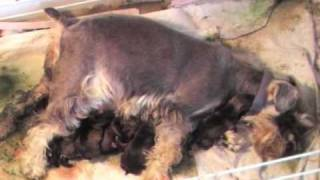 Whelping Puppies: How To Midwife Dog Whelping