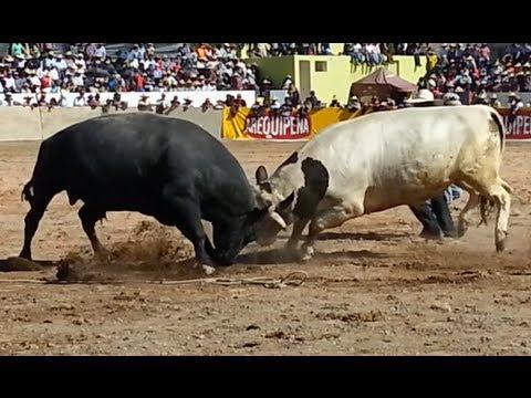 Embrujo vs. Míster Terror (15/09/2013). Pelea de Toros en Socabaya (Arequipa)