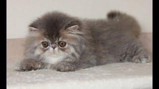 Дёма - персидский котенок