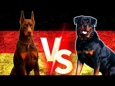 Doberman VS Rottweiler Köpekleri  #Rottweiler #Doberman #Köpek