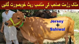 Beautiful Jersey And Sahiwal C…
