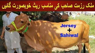 Beautiful Jersey And Sahiwal C…